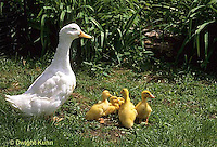 DG20-051z  Pekin Duck - ducklings with mother