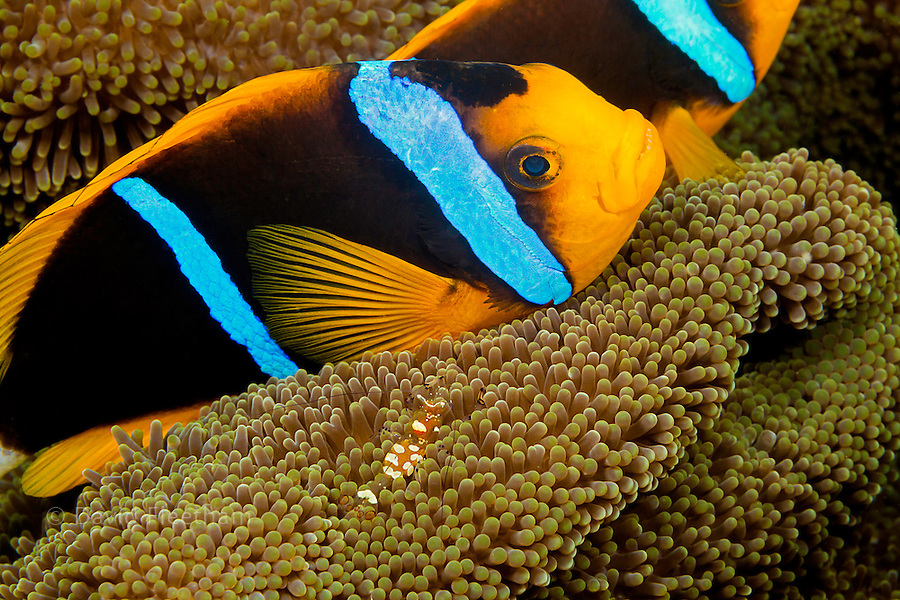 Clark's anemonefish, Amphiprion clarkii, sharing an anemone with a commensal shrimp, Periclimenes venustus, off the island of Yap, Micronesia.