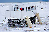 01874-11115  Polar bears (Ursus maritimus) near Tundra Buggy, Churchill, MB