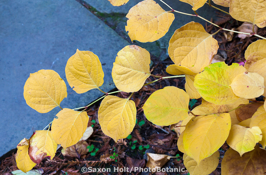 Branch of Japanese Knotweed (Fallopia japonica compacta) yellow foliage perennial fall color