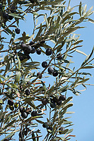 Olives on the vine during Wednesday Pro-Am of the Portugal Masters, Dom Pedro Victoria Golf Course, Vilamoura, Vilamoura, Portugal, 23/10/2019<br /> Picture Andy Crook / Golffile.ie<br /> <br /> All photo usage must carry mandatory copyright credit (© Golffile | Andy Crook)