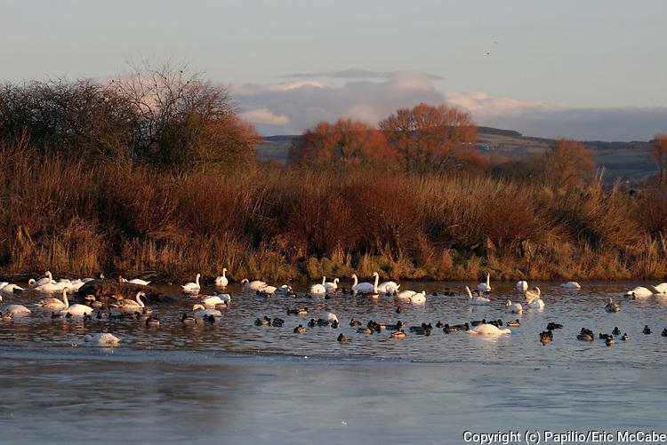 Whooper swans with wildfowl on pond, Cygnus cygnus, Caerlaverock, Dumfries & Galloway, Scotland, wetland habitat