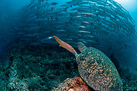Loggerhead Turtle, Caretta caretta, vulnerable species, looking at school of Blackfin Barracuda, Sphyraena qenie, Barracuda Point dive site, Sipadan island, Sabah, Malaysia, Celebes Sea