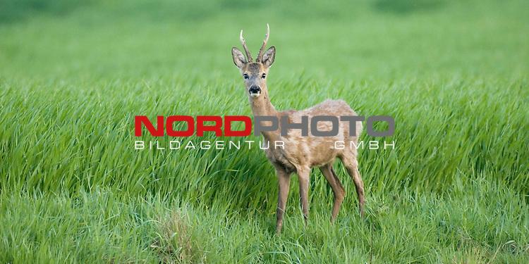 Reh, (lat. capreolus capreolus), Rehbock am Rande eines Feldes,  Jagd, Saeugetier, Haarwechel, Sechser<br /> <br /> Foto: nordphoto *** Local Caption *** Original Naturfoto - hŲhere AuflŲsung auf Anfrage - Dig. Foto