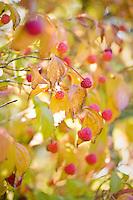 Red Cornus kousa dogwood berries on tree in autumn at Quarryhill Botanical Garden