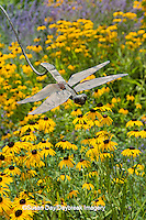 63821-23016 Dragonfly yard ornament with Black-eyed Susans (Rubeckia  fulgida  var. speciosa 'Viette's Little Suzy') in flower garden, Marion Co. IL