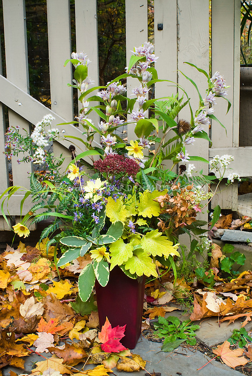 Fall autumn cut flowers and foliage in vase, harvested bouquet, including Tricytis toad lilies, Coreopsis Full Moon, dried Hydrangea paniculata Pinky Winky. Coleus Solenostemon Pineapple Queen, Sedum Carl, Salvia officinalis La Crema, Echinacea seed heads, Rudbeckia seedheads, Eupatorium Chocolate, against picket fence outdoors in garden with fall fall foliage colors