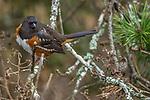 Canada, British Columbia,  George C. Reifel Migratory Bird Sanctuary, spotted towhee (Pipilo maculatus)
