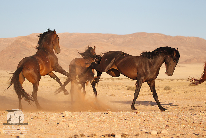 Fighting wild horses in the Namib Desert