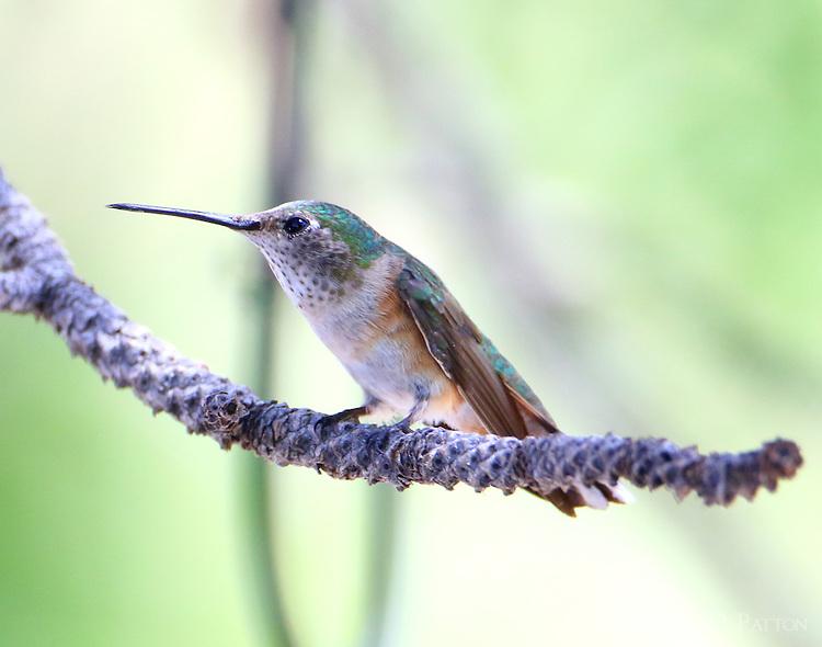 Adult female broad-tailed hummingbird
