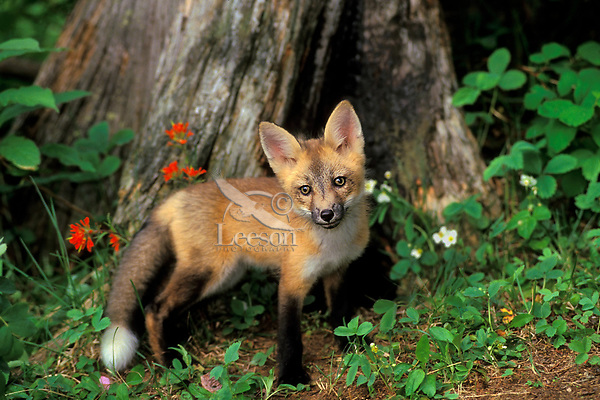 Red fox pup (Vulpes vulpes).  Den is under stump behind fox.  Western U.S. June.  Wild strawberry and paintbrush wildflowers.