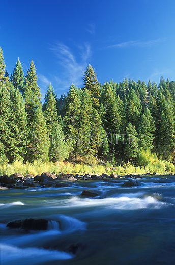 The low waters of the Blackfoot River flow through a pine forest in early autumn in Montana