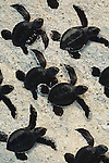Green Sea Turtle hatchlings move towards the ocean in the Galapagos Islands, Ecuador (composite)