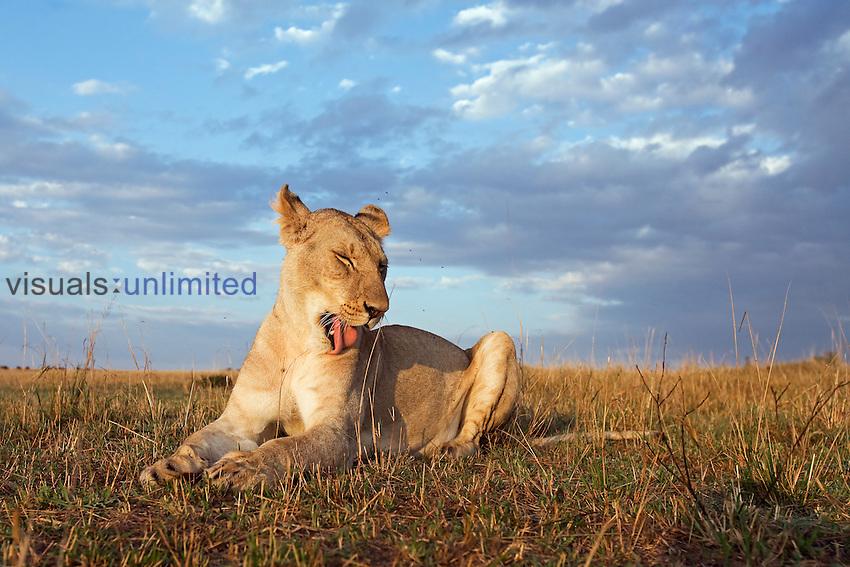 Young African Lion grooming (Panthera leo), Masai Mara, Kenya.