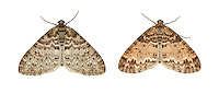70.198 (1879)<br /> Seraphim - Lobophora halterata