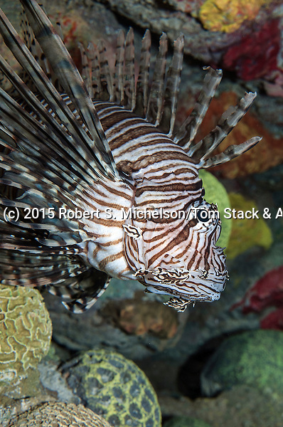 Red lionfish 45 degrees to camera facing right, vertical