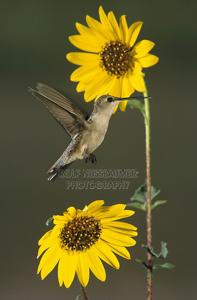 Black-chinned Hummingbird, Archilochus alexandri, female in flight at Sunflower, Lake Corpus Christi, Texas, USA
