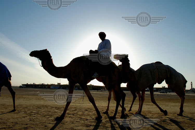 Taking racing camels to a racetrack for a training session.