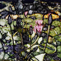 Waterlilies peak through the surface of the pond. Striking patterns of leaves float on the surface of the water.<br />