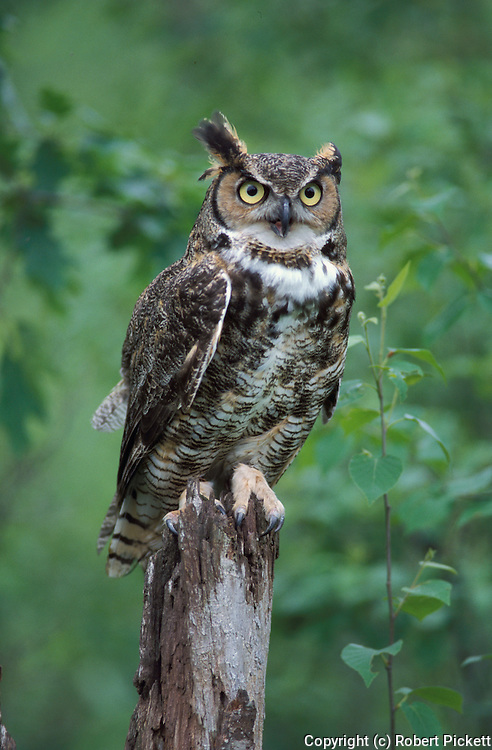 Great Horned Owl, Bubo virginianus, on tree stump, showing big yellow eyes and ear tufts, USA, Controlled situation. ....