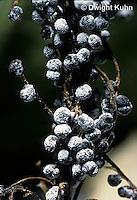 SD07-033x  Slime Mold - sporangia - Didymium melanospermum - shot @4x