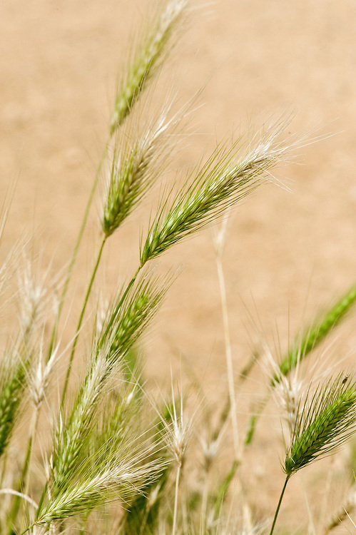 Wall barley (Hordeum murinum), south-west London, mid July. Also known as false barley.