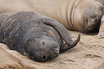 Elephant seal pup and female at Ano Nuevo State Park