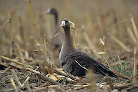 Greater White-fronted Goose, Anser albifrons, group in corn field, Ruegen, Germany, Oktober 1997