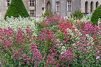 France, Indre-et-Loire, Langeais, château et jardin de langeais, massifs structuré autour d'une fontaine avec topiaire d'ifs, et valériane pourpre ou centranthe rouge (Centranthus ruber)
