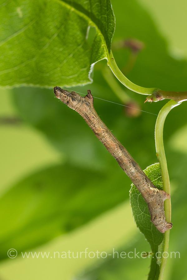 Zackenbindiger Rindenspanner, Raupe, Spannerraupe frisst an Traubenkirsche, Pflaumenspanner, Ectropis crepuscularia, Ectropis bistortata, Boarmia bistortata, Engrailed, Small Engrailed, Small Engrailed Moth, hieroglyphic moth, caterpillar, La Boarmie crépusculaire, Boarmie bi-ondulée, Spanner, Geometridae, looper, loopers, geometer moths, geometer moth