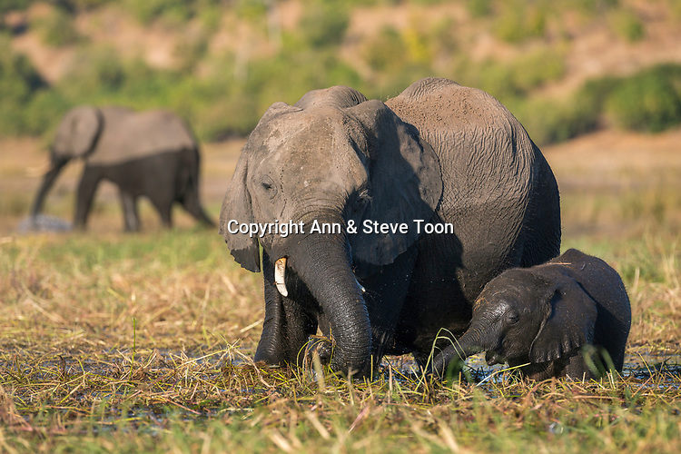 Elephant (Loxodonta africana) and calf, Chobe national park, Botswana, June 2017