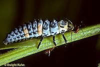 1C02-011z  Seven-spotted Ladybug larva eating prey aphid, Coccinella septempunctata