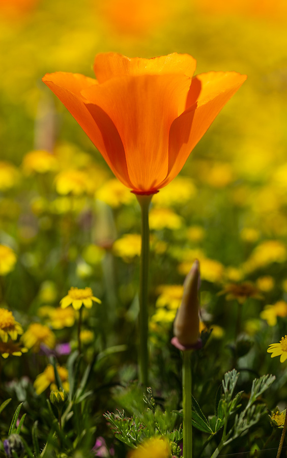 wild orange california poppy