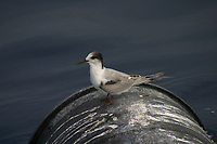 bird, roseate tern, Sterna dougallii, resting empty barrel, Azores Island, Portugal, North Atlantic