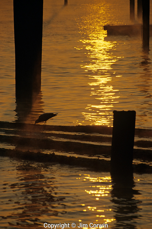 Silhouetted shorebird on logs on Elliott Bay at sunrise Seattle Washington State USA