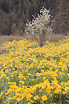 Service berry bush in bloom gives contrast to field of arrow leafed balsamroot in Brender Canyon near Cashmere, WA