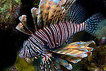 Lionfish, invasive species in the Bahamas