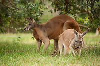 Western red kangaroos (Macropus rufus) grazing on green grass at Cleland Conservation Park, near Adelaide, South Australia.