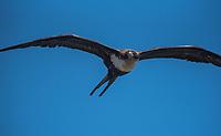 Great Frigatebird (Fregata minor)-- Kauai. Photo by James R. Evans