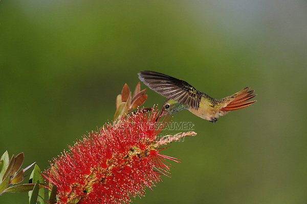 Buff-bellied Hummingbird (Amazilia yucatanenensis), adult feeding on Lemon Bottlebrush (Callistemon citrinus), Sinton, Corpus Christi, Coastal Bend, Texas Coast, USA