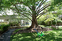 A Dawn Redwood stands in the Prouty Garden at Boston Children's Hospital, seen here in Boston, Mass., on Mon., June 13, 2016. Plans for expansion at the hospital would remove much of the garden space to allow for, among other things, the expansion of the Neonatal Intensive Care Unit. The garden is a half-acre of green space at the hospital that many in the hospital community hold dear.