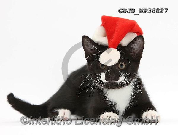 Kim, CHRISTMAS ANIMALS, WEIHNACHTEN TIERE, NAVIDAD ANIMALES, photos+++++,GBJBWP38827,#xa#
