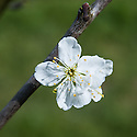 "Blossom of Greengage 'Reine-Claude de Bavay', early April. ""Raised by Major Esperens at Malines, Belgium c. 1832 from an open pollinated Greengage. Named Bavay in honour of the Director of the Horticultural Station at Vilvoorde. Brought to England by Thomas Rivers c. 1846. Medium sized, round oblong fruit. Light green skin turning pale yellow with many red and white dots. Deep yellow, soft, juicy flesh. Rich, sweet gage flavour. Small compact tree. Self-fertile but light cropping like most gages. Can be grown successfully in most parts of the UK but best grown in a sheltered garden or on a south facing wall in colder regions."" (Keepers Nursery)"