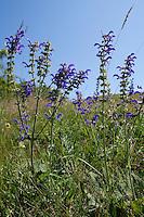 Wiesen-Salbei, Wiesensalbei, Salbei, Salvia pratensis, Meadow Clary