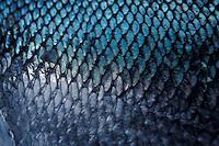 Closeup photo of Chum salmon fish scales, Sitka, Alaska.