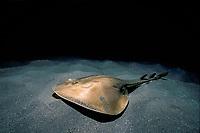 Thornback Ray, Platyrhinoidis triseriata, camouflaged on sandy bottom, Channel Islands, California, USA, - Pacific Ocean