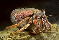 1Y30-007z  Acadian Hermit Crab - Pagurus acadianus