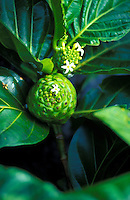 Noni fruit with flower, Hawaiian medicinal plant