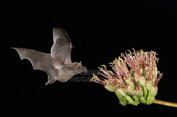 Mexican Long-tongued Bat, Choeronycteris mexicana, adult in flight at night feeding on Agave , September 2006