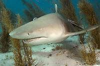 Lemon Shark - Negaprion brevirostris. Tiger Beach, Bahamas, Atlantic Ocean.